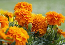 Bedding, Marigolds